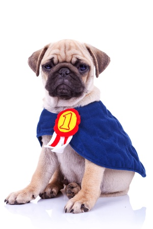 champ: cute little pug puppy dog champion sitting on white background. seated mops puppy wearing a number one ribbon cape Stock Photo