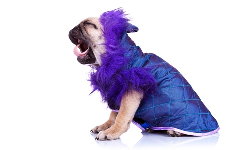 side view of a screaming pug puppy dog. little dressed mops puppy yawning and looking like it is yelling, on white background Stock Photo - 12581774