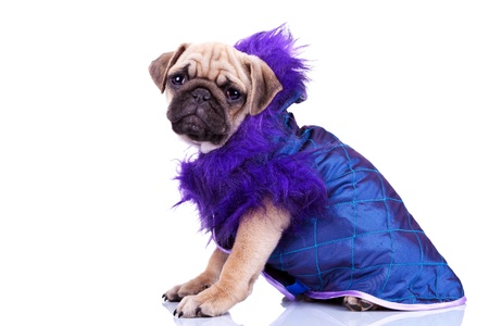 carlin: funny little dressed mops dog sitting on a white background. side view of a dressed pug puppy dog