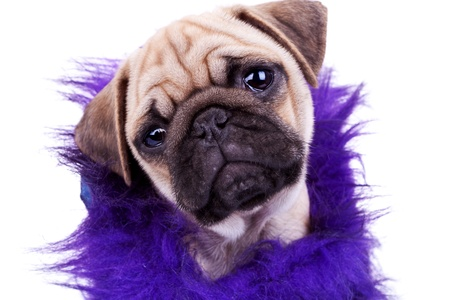 head of an adorable dressed mops dog. face of a cute pug puppy dog on white background photo