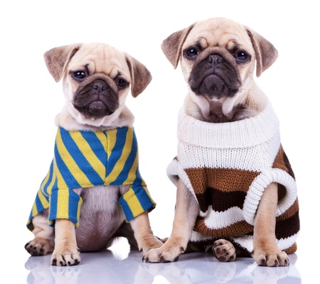 two cute dressed pug puppy dogs sitting on white background. curious looking mops puppies wearing cool clothes photo