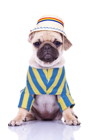 wrinkely: cute pug puppy dog wearing clothes and a traditional romanian hat on white background. adorable dressed mops puppy looking at the camera while sitting