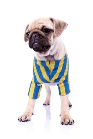 standing  pug puppy dog looking to a side on white background. full body picture of a curious standing mops dog wearing clothes photo