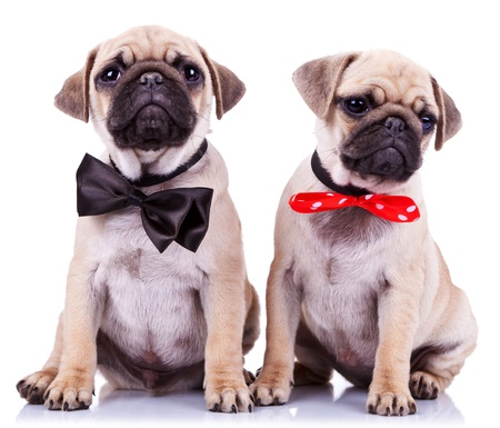 carlin: lady and gentleman pug puppy dogs sitting on white background. cute pair of mops puppies wearing nice neck bows