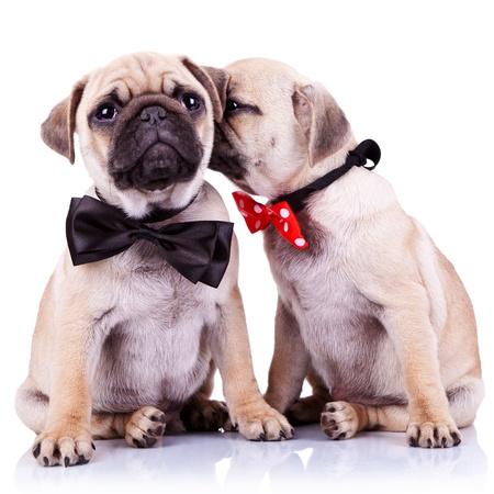 dama del perrito trapeadores susurrando algo o besar a su pareja caballero mientras está sentado. trapeadores linda pareja usando arcos del cuello. adorable cachorro pug par perros sentado en fondo blanco.