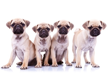 four mops puppy dogs sitting in fron of a white background and looking to the camera Stock Photo - 13311876