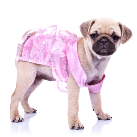 curious little puppy dog princess standing on white background. cute pug puppy wearing a ping dress Stock Photo - 13310780