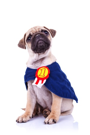 Best Pug Bow Adorable Dog - 13311612-cute-little-pug-puppy-dog-champion-sitting-on-white-background-and-looking-up-to-something  You Should Have_12320  .jpg?ver\u003d6