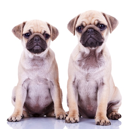 two cute pug puppy dogs sitting on a white background and looking at the camera photo