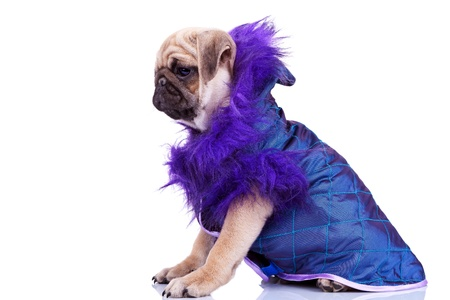 wrinkely: side view of a cute pug puppy dog looking at something and wearing a purple cape on white background