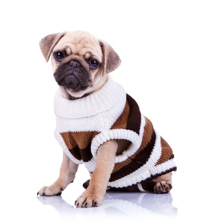 cute mops puppy dog wearing clothes and  looking to the camera on white background Stock Photo - 13310763
