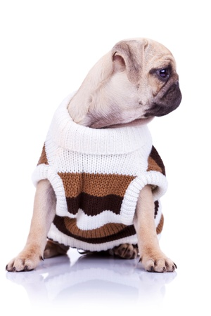 cute mops puppy dog wearing clothes is looking to its side on white background photo