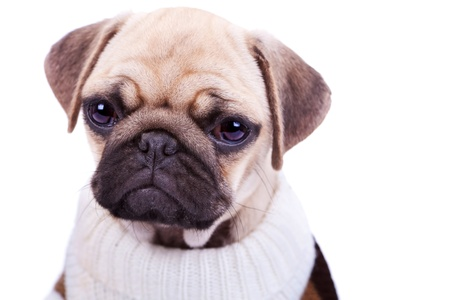 head of a cute and sad sad pug puppy dog isolated on white  Stock Photo - 13310933