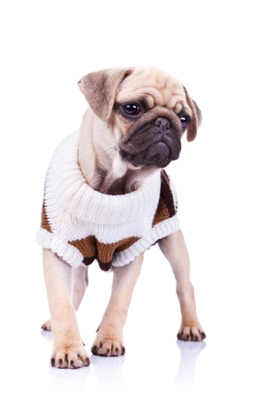 standing pug puppy dog looking to a side on white background. full body picture of a curious standing mops dog wearing clothes  Stock Photo - 13310706