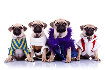 four dressed mops puppy dogs sitting on a white background and looking to the camera photo