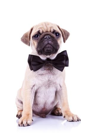 tie bow: mops carino cucciolo di cane con fiocco al collo seduta e guardando la telecamera su sfondo bianco Archivio Fotografico