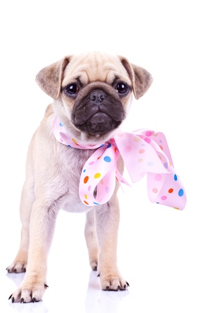 cute mops puppy dog wearing a pink ribbon at its neck, standing on white background Stock Photo - 13310866