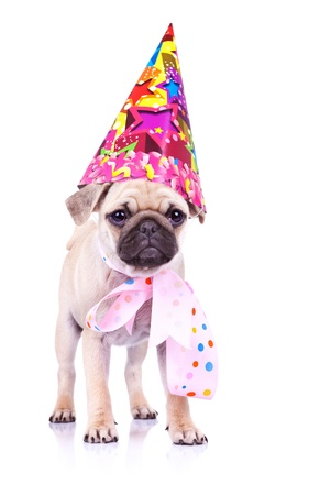 carlin: cute mops puppy dog standing on white background, wearing a party hat and a pink ribbon