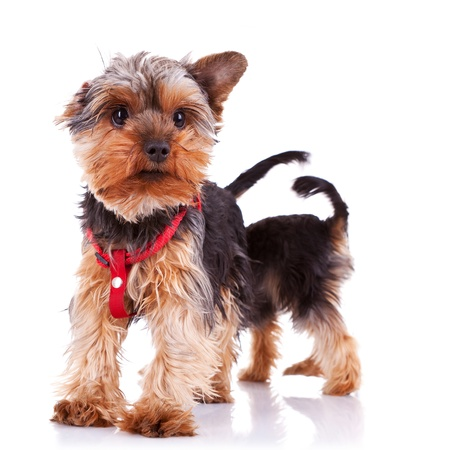 two curious little yorkshire puppy dogs on white background, one standing in the back  photo