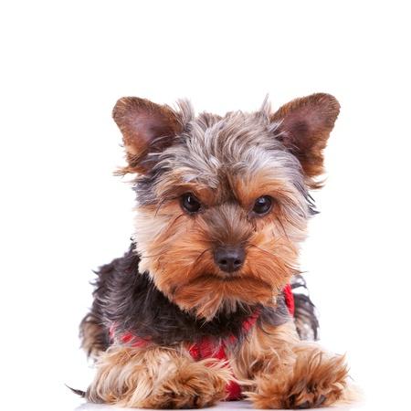 yorkshite lindo cachorro de perro tumbado sobre un fondo blanco Foto de archivo