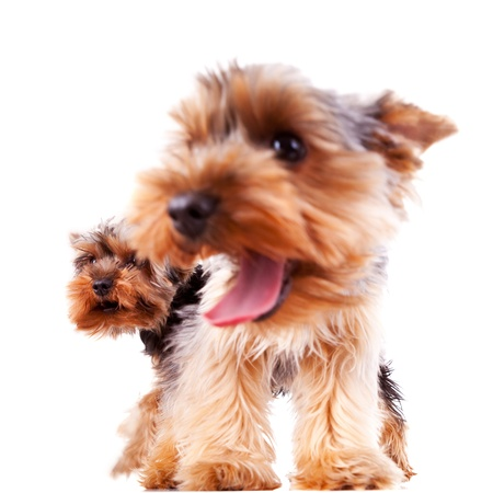panting: closeup of two yorkshire puppy dogs barking and panting, focus on the one at the back