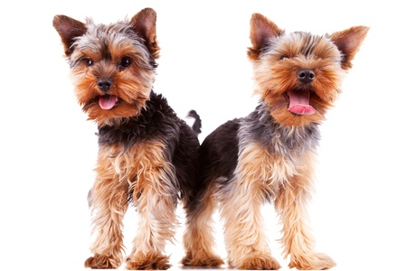 two panting yorkshire puppy dogs with their tongue exposed, standing on white background photo