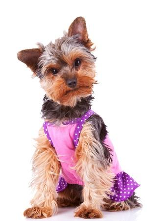 perros vestidos: vestido de Yorkshire cachorro de perro mirando muy curiosa a la cámara mientras se está sentado en el fondo blanco