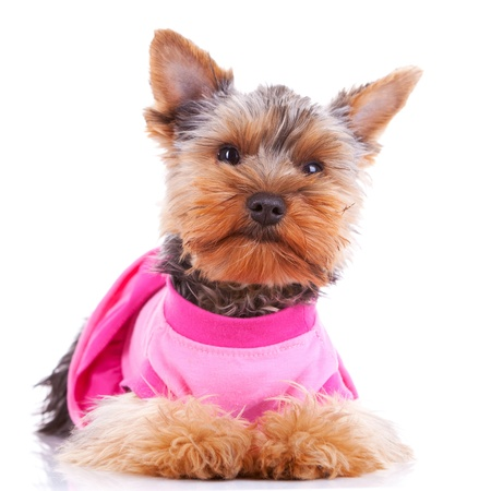 perros vestidos: vestido de Yorkshire cachorro de perro mirando a la cámara mientras se está sentado en el fondo blanco