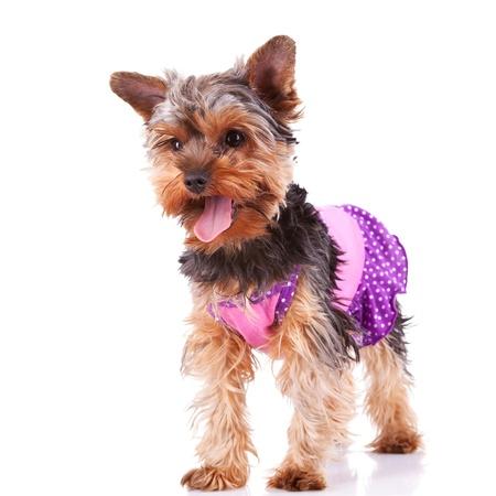 perros vestidos: jadeando Yorkshire cachorro de perro de pie y mirando a un lado en el fondo blanco