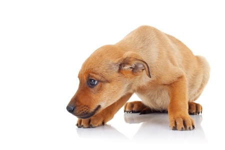 stray dog: side view of a brown stray puppy dog looking at something on white background