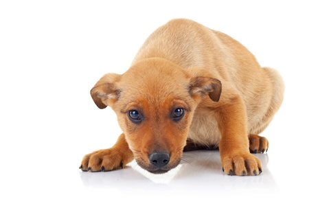 stray dog: cute brown stray puppy dog looking at the camera on white background Stock Photo