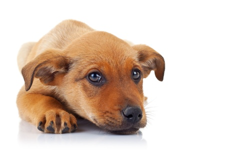 stray dog: cute stray puppy dog with its head on its paws looking at something to a side
