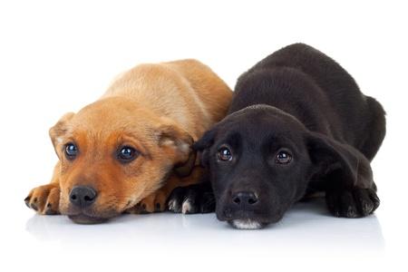 caras tristes: caras tristes de los dos cachorros abandonados mirando a la cámara sobre fondo blanco