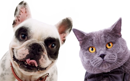 picture of a cat and a dog - British short hair grey cat and french bull dog puppy looking at the camera