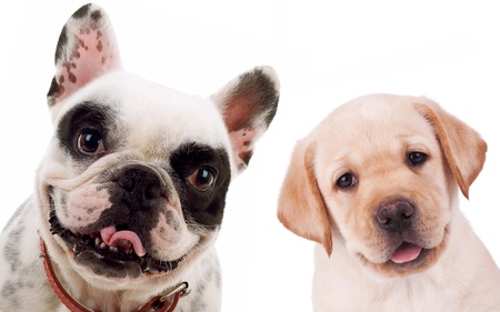 picture of two little puppy dogs - labrador retriever and french bull dog looking at the camera photo