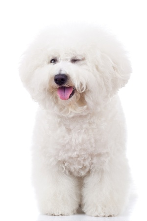 panting bichon frise puppy dog winking at the camera on white background photo