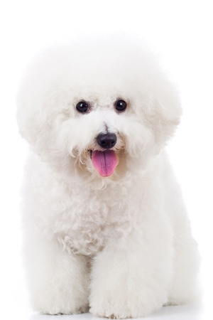 bichon: seated bichon frise puppy dog on a white background
