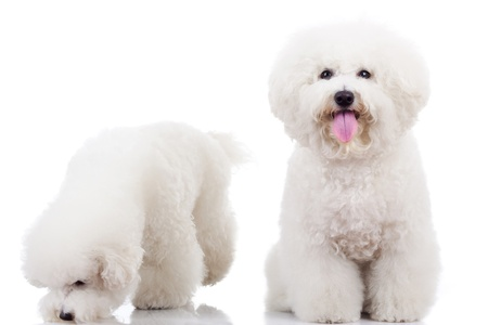bichon: two curious bichon frise puppy dogs, one looking at the camera and one sniffing around