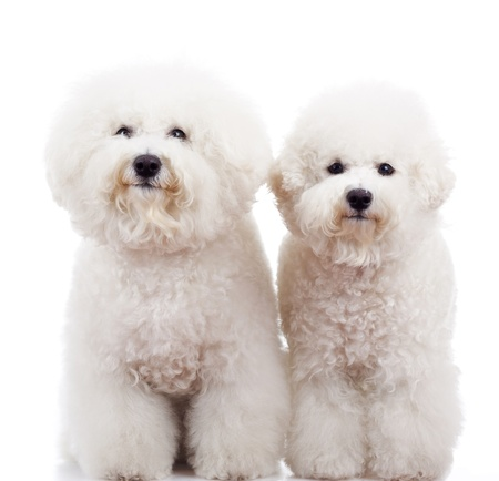 two bichon frise puppy dogs standing and looking at the camera on white background photo