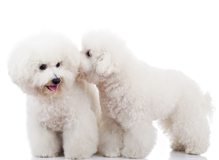 pair of adorable bichon frise puppy dogs playing and sniffing each other photo
