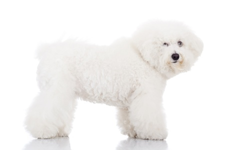 side view of a beautiful bichon frise puppy dog standing on a white background photo