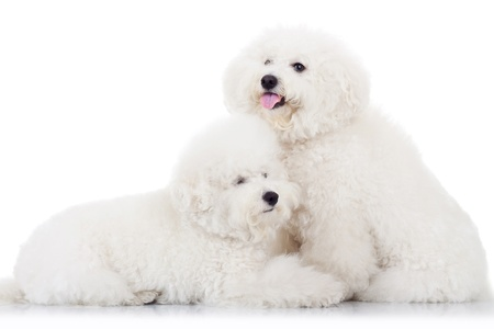 pair of adorable bichon frise puppy dogs, lying together on white background photo