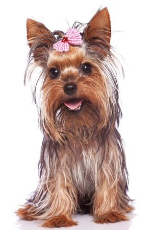 baby face yorkshire terrier puppy dog sitting and panting while looking at the camera Stock Photo
