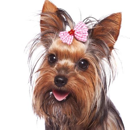 miniature breed: la cara del bebé yorkshire terrier cachorro de perro con pelo de la cabeza atada con un lazo rosa, jadeando sobre un fondo blanco