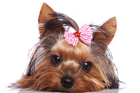 cute yorkshire terrier puppy dog looking a little sad and sleepy on white background photo