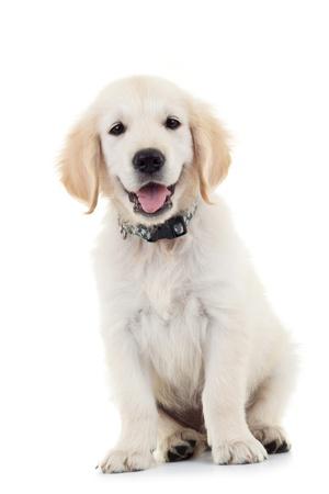 Labrador Retriever cachorro sentado y mirando a la cámara mientras jadeaba. Aislados en blanco Foto de archivo