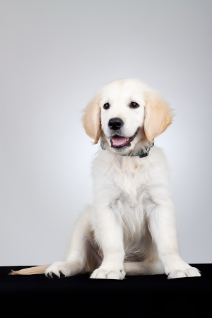 adorable and curious Golden Retriever puppy dog sitting and looking away from the camera. Gray background photo