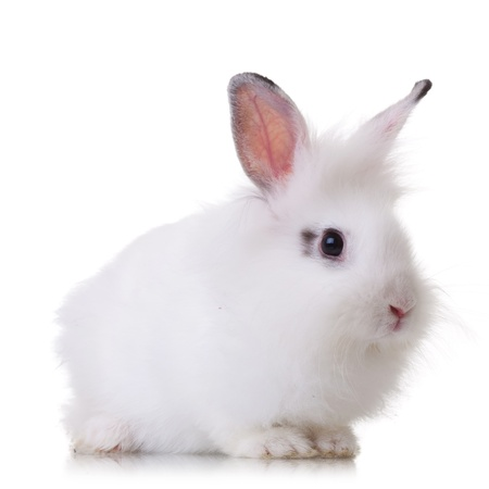 white rabbit: side view of a small piece of fur white rabbit on white background