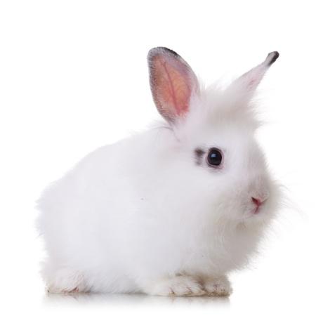 lapin blanc: vue de côté d'un petit morceau de fourrure de lapin blanc sur fond blanc