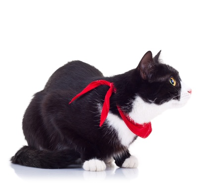 side view curious black and white cat wearing a red scarf on white background Stock Photo - 15160162